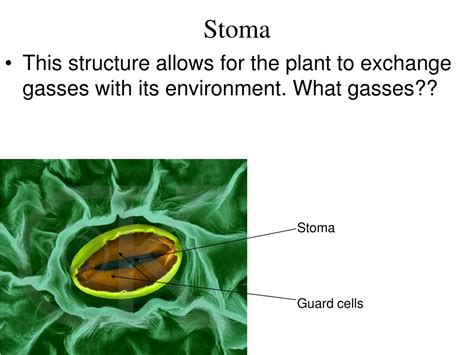 photosynthesis ib biology hl  mcintyre powerpoint