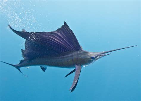 sailfish mexico fish flora fauna