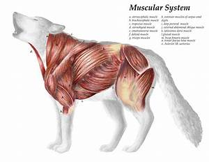 Dog Neck Anatomy