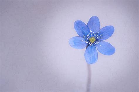 photo hepatica flower blossom bloom  image