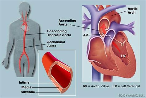 pictures  ascending aorta