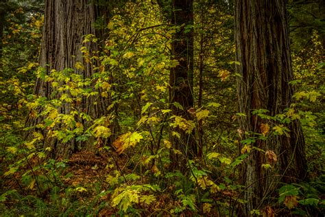 redwood color california fall color 187 redwood national park