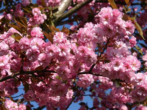 Japanische Hänge Nelkenkirsche by Japanische Nelkenkirsche Kanzan Prunus Serrulata