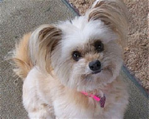 Do Bichon Pomeranians Shed by Is A Maltipom The Right Maltese Mix For You