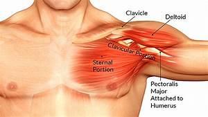 Anatomy Of Chest Area