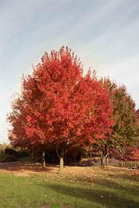 Roter Ahorn Baum : die besten 25 roter ahorn ideen auf pinterest eleganter ~ Michelbontemps.com Haus und Dekorationen