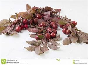 Rote Blätter Baum : wilde rote pflaumen stockbild bild von korne baum ~ Michelbontemps.com Haus und Dekorationen