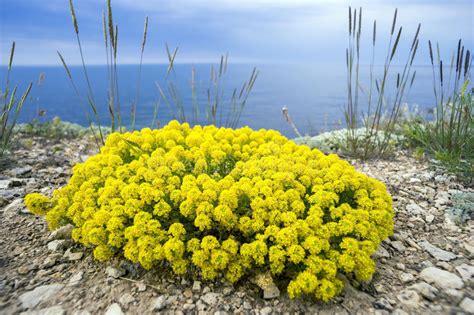 gelbe blumen des strauch alyssum stockfoto bild meer