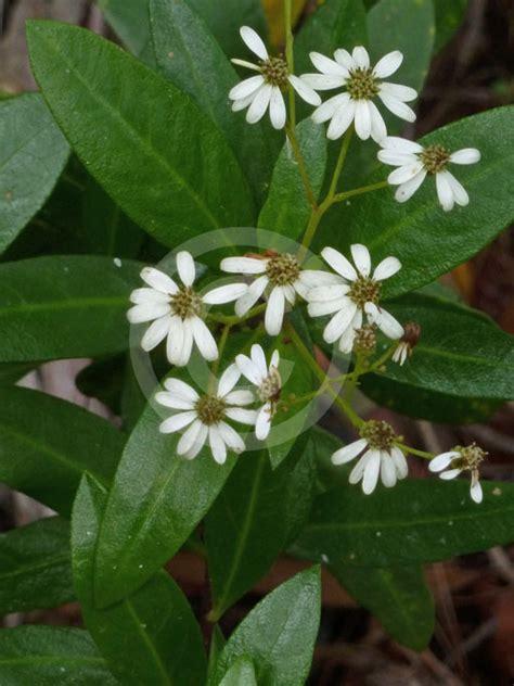 olearia elliptica sticky daisy bush information