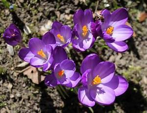 Was Sind Frühlingsblumen : fr hlingsblumen krokusse bilder blog ~ Whattoseeinmadrid.com Haus und Dekorationen