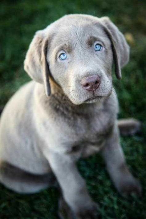 best ideas about labradors on best 25 silver labs ideas on silver labrador