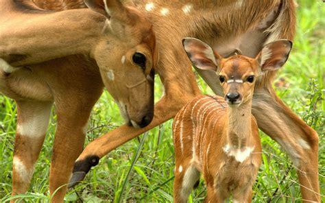 Deer Mama Small Deer Grass Animals Wallpaper Hd