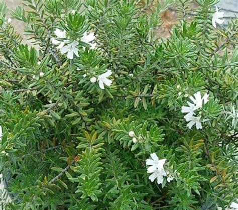 Westringia fruticosa 'Mundi' PPAF (Coast Rosemary Selection)