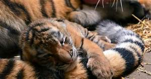 Indianapolis Zoo U2019s Newest Tiger Cub Gets A Name