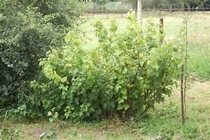 Hochstamm Stachelbeeren Schneiden : johannisbeeren pflanzen johannisbeeren pflanzen darauf ~ Lizthompson.info Haus und Dekorationen