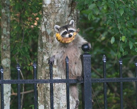 nazi racoons invade germany  threaten  conquer uk