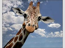 GIRAFFE Foto & Bild tiere, zoo, giraffe Bilder auf
