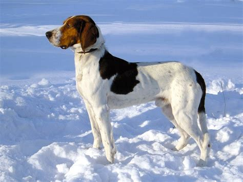 Dogs That Dont Shed by Hygenhund Dog Breed Standards