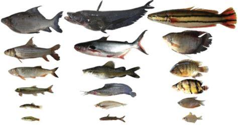 examples   range  body sizes  fish species
