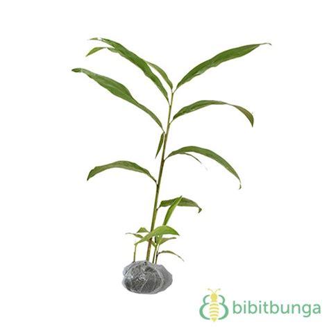 tanaman lengkuas merah