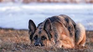 German Shepherd Dog, HD Animals, 4k Wallpapers, Images ...
