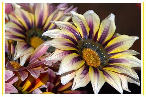 i fiori semplici semplici fiori foto immagini fiori natura piante
