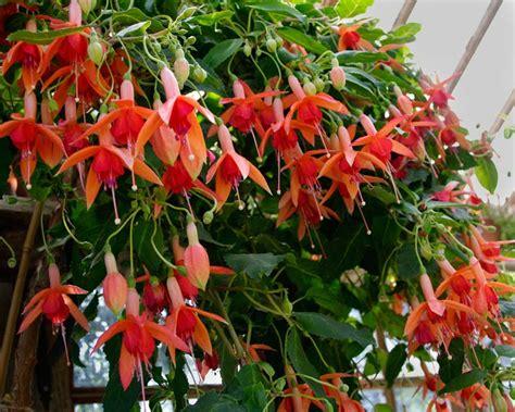 fuchsia hybrid gardensonline fuchsia trailing hybrids