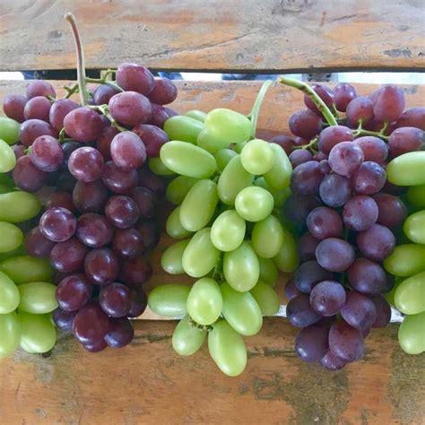 varietà uva da tavola dichiarazione riguardo alla variet 224 di uva da tavola