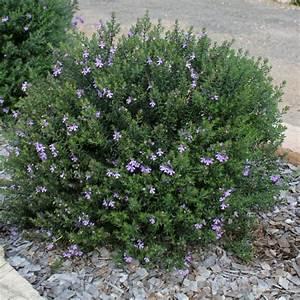 Coastal Rosemary Native Rosemary Westringia Westringia