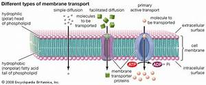 Cell Membrane  Types Of Membrane Transport