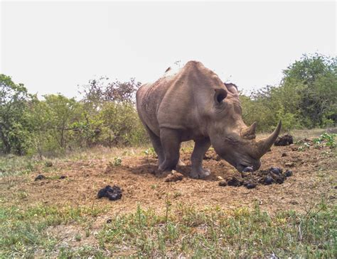 rhinos  poop piles   social network