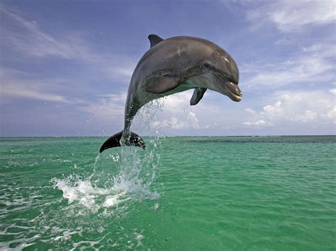 Water Animal Wallpaper - handsome dolphin wallpapers and images wallpapers