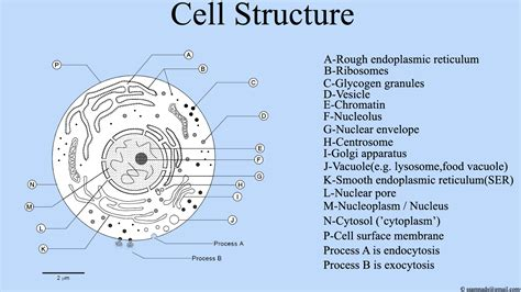 Filecell Structure , Cell Diagrampng  Wikimedia Commons