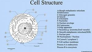 File Cell Structure   Cell Diagram Png
