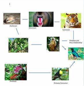Food Chain and Food Web - Tropical Rainforest