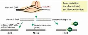 Advanced Gene Editing In Mouse Models For