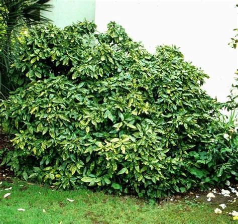 leafy shrubs 17 best images about aucuba japonica on pinterest drought tolerant sun and shrubs