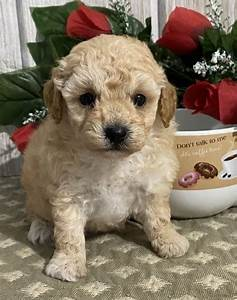 Miniature Poodle Puppies For Sale Online