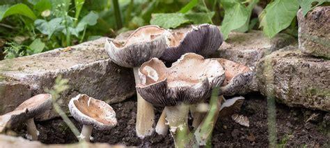 Essbare Pilze Im Garten Züchten by Essbare Pilze Im Garten Z 252 Chten So Legt Ein Pilz