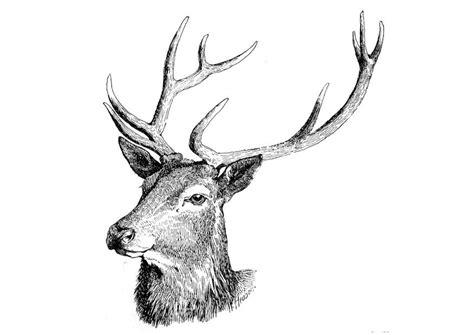 disegno da colorare cervo cat