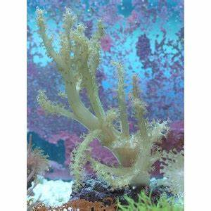 Neon Green Square Branching Sinularia Soft Coral Tank