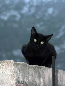 black cats file black cat in at delphi greece jpg