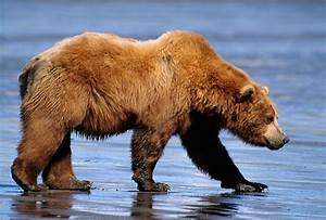 The Gingerbread Man on Pinterest | Grizzly Bears, Bears ...