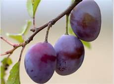Plums Planting, Growing, and Harvesting Plums The Old