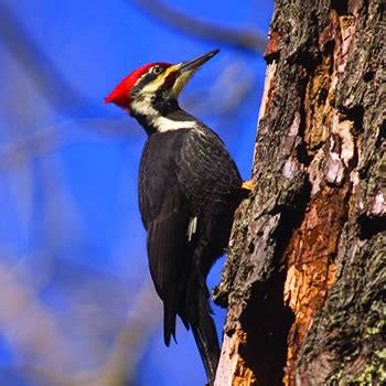 woodpecker control removal of woodpeckers catseye