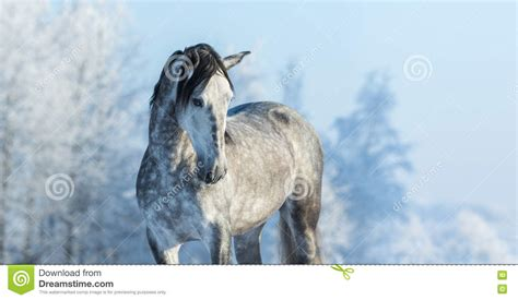 thoroughbred gray horse andalusian winter forest horizontal preview
