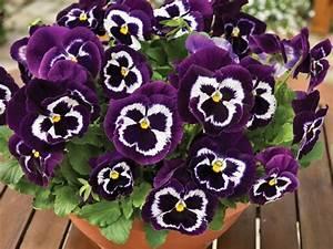 Winterharte Blumen Für Den Garten : stiefm tterchen bringen euch den fr hling auf balkon und terrasse obi blumen garten ~ Whattoseeinmadrid.com Haus und Dekorationen