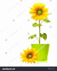 Sunflower Plant Green Pot Isolated On Stock Photo ...