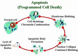 What Role Does Apoptosis Play In Metamorphosis