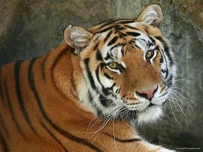 Wallpapers Wildlife Tiger Bengal Tigers Animals Wild